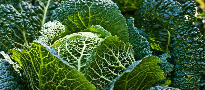 Cabbage Kabbage káposzta